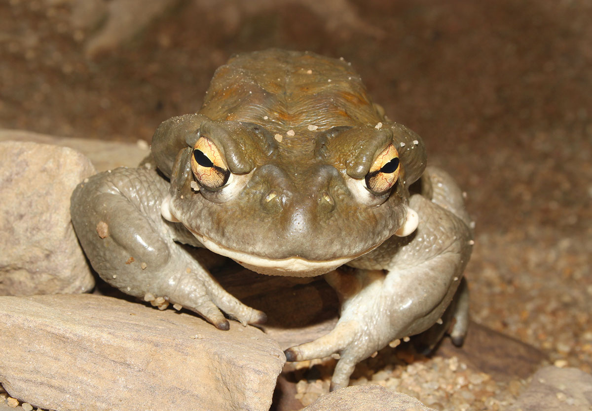 New study: Psychedelic toad secretion relieves depression, anxiety and stress