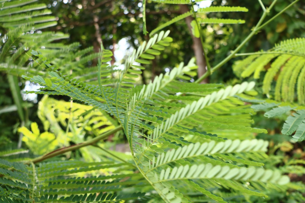 What is Mimosa hostilis and what are its effects?