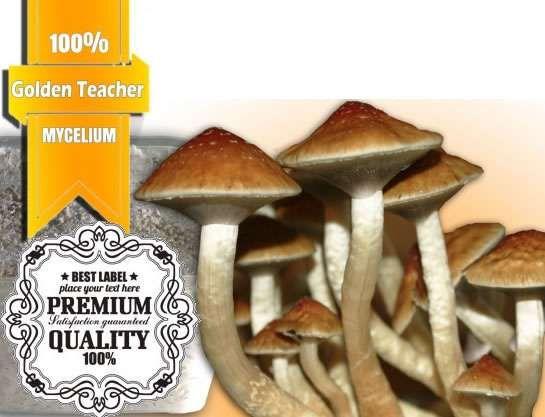 100% Mycelium XL Golden Teacher Mushroom Growkit   Avalon Magic Plants