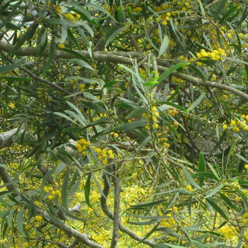 Acacia Confusa Seeds