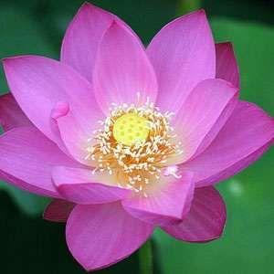 Nelumbo Nucifera Pink Lotus 5 Seeds Avalon Magic Plants