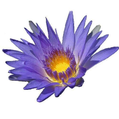 Blue Lotus Nymphaea Caerulea Zaden Avalon Magic Plants