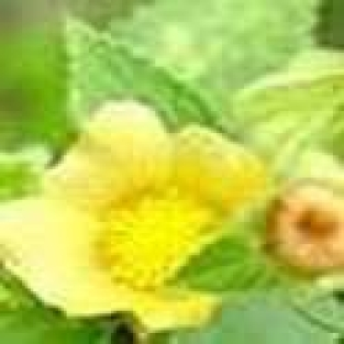 Sida Plant